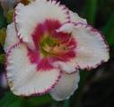 <h5>Ageless Beauty</h5><p>Züchter:  Stamile 2003 Blüte: 13 cm Höhe: 70 cm Ploide-Gruppe:</p>