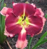 <h5>Bart Roberts</h5><p>Züchter:  Stamile 2008 Blüte: 15 cm Höhe: 60 cm Ploide-Gruppe:</p>