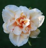 <h5>Big Kiss</h5><p>Züchter: Joiner 1991 Blüte:  14 cm Höhe:  71 cm Ploide-Gruppe: DIP</p>