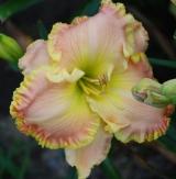 <h5>April La Quinta</h5><p>Züchter: Petit 2006 Blüte:  Höhe:  Ploide-Gruppe:</p>
