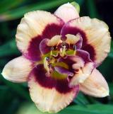 <h5>Cactus Jack</h5><p>Züchter: Trimmer 2008 Blüte: 14 cm Höhe: 75 cm Ploide-Gruppe:</p>