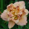<h5>Cardigan Bay</h5><p>Züchter: Trimmer 1999 Blüte:  Höhe:  Ploide-Gruppe:</p>