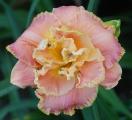 <h5>Coronations Dream</h5><p>Züchter: Petit 2008 Blüte: 17,5 cm Höhe: 68 cm Ploide-Gruppe:</p>