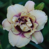 <h5>Darya</h5><p>Züchter: Stamile 2004 Blüte: 14 cm Höhe: 80 cm Ploide-Gruppe:</p>