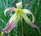 <h5>Desert Icicle</h5><p>Züchter: Roberts 1995 Blüte: 20 cm Höhe: 91 cm Ploide-Gruppe: DIP</p>