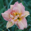 <h5>Dublin Elaine</h5><p>Züchter: Joiner 1977 Blüte: 12 cm Höhe: 95 cm Ploide-Gruppe: DIP</p>