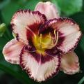 <h5>Exotic Treasure</h5><p>Züchter: Salter 2002 Blüte: 15 cm Höhe: 70 cm Ploide-Gruppe:</p>