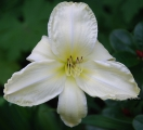 <h5>First Lady Barbara</h5><p>Züchter: Dickerson 1990 Blüte: 16,5 cm Höhe: 58 cm Ploide-Gruppe:																																																																																																																																																																																																																																																															</p>