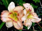 <h5>Ellis Powell</h5><p>Züchter: Carpenter 2006 Blüte: 15 cm Höhe: 50 cm Ploide-Gruppe:</p>