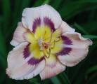 <h5>Flamboyant Edges</h5><p>Züchter: Stamile 2002 Blüte: 18 cm Höhe: 65 cm Ploide-Gruppe:</p>