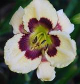 <h5>Forever In Time</h5><p>Züchter: Salter 1996 Blüte: 15 cm Höhe: 76 cm Ploide-Gruppe:</p>
