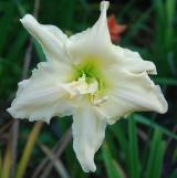 <h5>Fluttering Beauty</h5><p>Züchter: Joiner 1999 Blüte:  Höhe:  Ploide-Gruppe:</p>