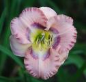 <h5>Metallic Butterfly</h5><p>Züchter: Stamile 2005 Blüte:  Höhe: 45 cm Ploide-Gruppe:</p>
