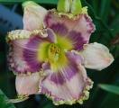 <h5>Henry  Boykin</h5><p>Züchter: Townsend 2005 Blüte: 17,5 cm Höhe: 78 cm Ploide-Gruppe:</p>