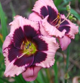 <h5>Jane Trimmer</h5><p>Züchter: Trimmer 2002 Blüte: 13 cm Höhe: 63 cm Ploide-Gruppe:</p>