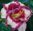 <h5>Julie Banks</h5><p>Züchter: Holton 2004 Blüte: 13 cm Höhe: 85 cm Ploide-Gruppe:</p>