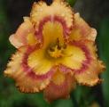 <h5>Kazoo</h5><p>Züchter: Maryott 2007 Blüte: 14 cm Höhe: 75 cm Ploide-Gruppe:</p>