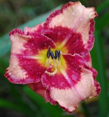<h5>Lies And Lipstick</h5><p>Züchter: Kinnebrew 2003 Blüte: 12,5 cm Höhe: 62 cm Ploide-Gruppe:</p>