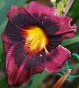 <h5>Midnight Dynamite</h5><p>Züchter: Carpenter 2002 Blüte: 12 cm Höhe: 50 cm Ploide-Gruppe: DIP</p>