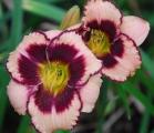 <h5>Miltitzer Magie</h5><p>Züchter: Herrn 2013 Blüte:  Höhe: 60 cm Ploide-Gruppe:</p>