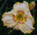 <h5>Monet`s Garden</h5><p>Züchter: Gaskins 2006 Blüte: 15 cm Höhe: 71 cm Ploide-Gruppe:</p>