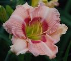 <h5>Newberry Cherry Eye</h5><p>Züchter: Rushing 1993 Blüte: 17 cm Höhe: 70 cm Ploide-Gruppe: DIP</p>