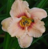 <h5>Oirlicher Suse</h5><p>Züchter: Waldorf Blüte: 14 cm Höhe: 68 cm Ploide-Gruppe:</p>