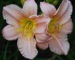<h5>Oy Vey</h5><p>Züchter: Owen 2008 Blüte: 15 cm Höhe: 73 cm Ploide-Gruppe:</p>