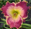 <h5>Picture In Picture</h5><p>Züchter: Stamile 2007 Blüte: 16 cm Höhe: 63 cm Ploide-Gruppe:																																																																																																																																																																																																																																																															</p>
