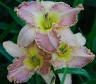 <h5>Raise The Standard</h5><p>Züchter: Grace 2002 Blüte: 15 cm Höhe: 60 cm Ploide-Gruppe:</p>