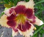 <h5>Red Eyed Fantasy</h5><p>Züchter: Carpenter 2003 Blüte: 13 cm Höhe: 55 cm Ploide-Gruppe: DIP</p>