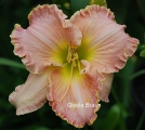 <h5>Ricter</h5><p>Züchter: Stamile 2002 Blüte: 15 cm Höhe: 60 cm Ploide-Gruppe:</p>