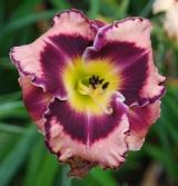 <h5>Rock Solid</h5><p>Züchter: Stamile 2003 Blüte: 12 cm Höhe: 69 cm Ploide-Gruppe:</p>