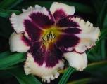 <h5>Sabine Baur</h5><p>Züchter: Salter 1997 Blüte: 15 cm Höhe: 60 cm Ploide-Gruppe:</p>