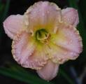 <h5>Shimmering Elegance</h5><p>Züchter: Stamile 1994 Blüte: 15 cm Höhe: 63 cm Ploide-Gruppe:</p>