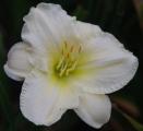 <h5>Sudden Snow</h5><p>Züchter: Millikan 1991 Blüte: 11,5 cm Höhe: 66 cm Ploide-Gruppe: DIP</p>