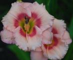 <h5>Sweet Sugar Candy</h5><p>Züchter: Stamile Blüte: 10 cm Höhe: 60 cm Ploide-Gruppe:</p>