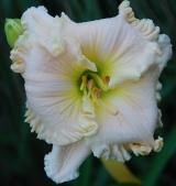 <h5>Taunus Weißer Engel</h5><p>Züchter: Juhr 2010 Blüte: 16 cm Höhe: 70 cm Ploide-Gruppe:</p>