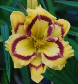 <h5>Terry Lyninger</h5><p>Züchter: Carpenter 2003 Blüte: 13,5 cm Höhe: 60 cm Ploide-Gruppe: DIP</p>